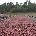 Rwanda Gatare Lot 23